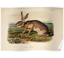 James Audubon - Quadrupeds of North America V3 1851-1854  Texian Hare Poster