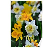 White and Yellow Daffodils in the Abstract Poster