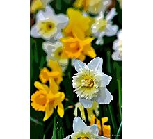 White and Yellow Daffodils in the Abstract Photographic Print