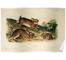James Audubon - Quadrupeds of North America V1 1851-1854  Grey Rabbit Poster