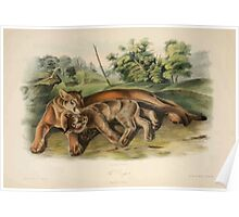 James Audubon - Quadrupeds of North America V2 1851-1854  Cougar Female Young Poster