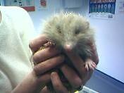 "Rescued Hedgehog ""Safe At Last"" by UrsulaDee"