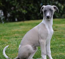 Random Whippet by welovethedogs