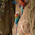 Macaws by Angela1