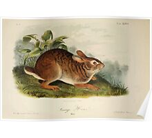 James Audubon - Quadrupeds of North America V1 1851-1854  Swamp Hare Poster
