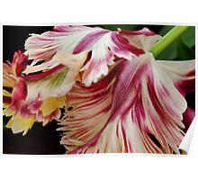 """Flaming Parrot"" - Parrot Tulip, Keukenhof Gardens Poster"