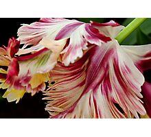 """Flaming Parrot"" - Parrot Tulip, Keukenhof Gardens Photographic Print"