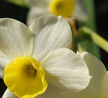 A Shiny New Mini Daffodil by rabeeker