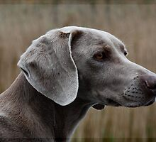 The Weimaraner Dog by Britta Döll