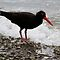 &quot;The Sooty Oystercatcher&quot; by Sue  Fellows