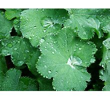 Lady's Mantle Leaf Photographic Print