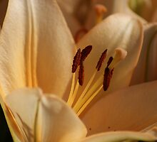 Lily - lovely peach colored! by Ruth Lambert