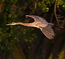 050809 Great Blue Heron by Marvin Collins