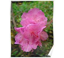 Rhododendren  Poster