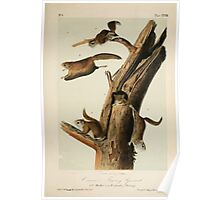 James Audubon - Quadrupeds of North America V1 1851-1854  Common Flying Squirrel Poster