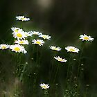 Moonlit Daisies by Darlene Lankford Honeycutt