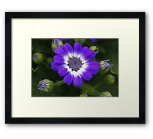 Cineraria Framed Print