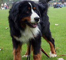 Young Bernese Mountain Dog by welovethedogs