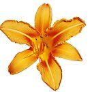 Single Orange Lily by jojobob