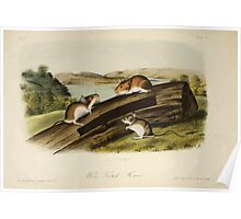 James Audubon - Quadrupeds of North America V1 1851-1854  White Footed Mouse Poster