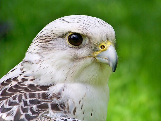 Gyr Falcon by Dandelion Dilluvio