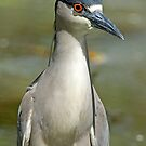 Black Capped Knight Heron Portrait by Photography by TJ Baccari