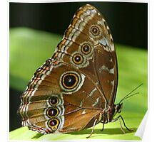 Beautiful Butterfly Wings of Meadow Brown Poster