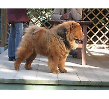 Loud Chow Chow (Smooth) Photographic Print