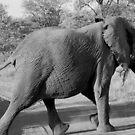 Elephant Crossing by rabeeker
