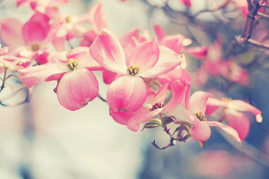 Pink Dogwood by Kristybee