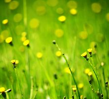 Dandelions blooming  by kellinasf