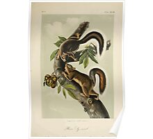 James Audubon - Quadrupeds of North America V1 1851-1854  Hare Sqirrel Poster