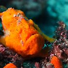 This orange frog fish was found in the nursery at Julian Rocks by jenitae