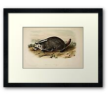 James Audubon - Quadrupeds of North America V1 1851-1854  American Badger Framed Print
