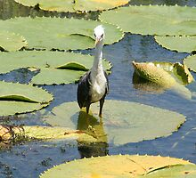Young Pied Heron by VickiM
