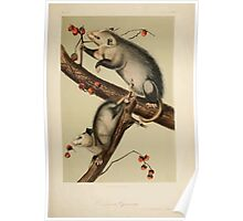 James Audubon - Quadrupeds of North America V2 1851-1854  Virginian Opossum Poster