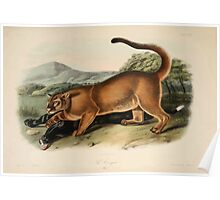 James Audubon - Quadrupeds of North America V2 1851-1854  Cougar Male Poster