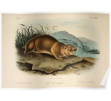 James Audubon - Quadrupeds of North America V3 1851-1854  Sewellel Poster