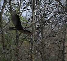 Flight of the Turkey Vulture by amyklein196203