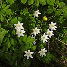 Wood Anemone by Kat Simmons