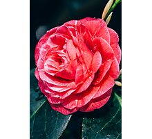 Pink Rose and Water Drops Photographic Print