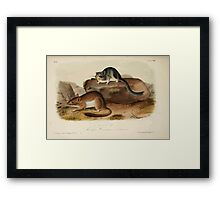 James Audubon - Quadrupeds of North America V1 1851-1854  Rocky Mountain Neotoma Framed Print