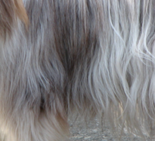 Cool Bearded Collie Sticker