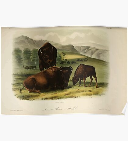 James Audubon - Quadrupeds of North America V2 1851-1854  American Bison or Buffalo 2 Poster