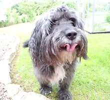Furry Bearded Collie