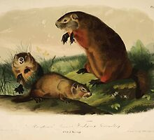 James Audubon - Quadrupeds of North America V1 1851-1854  Maryland Marmot Woodchuck Groundhog by wetdryvac