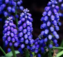 GRAPE HYACINTHS by mlynnd