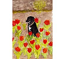 Black Dog in Red Tulips Photographic Print