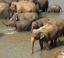 Pinnewala Elephant Orphanage by Lilian Marshall
