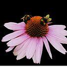 Echinacea Purpurea on White Background by jojobob